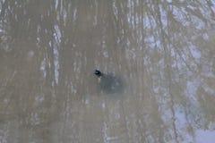 Żółw w rzece przy Floryda instytutem technologii, Melbourne Floryda Zdjęcia Stock