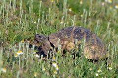Żółw w trawie Zdjęcia Royalty Free