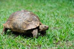 Żółw w trawie zdjęcie royalty free