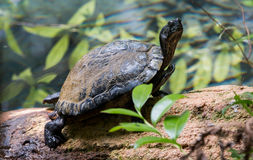 Żółw Wygrzewa się w słońcu na beli Obrazy Stock