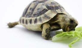 Żółwia łasowanie Zdjęcie Royalty Free