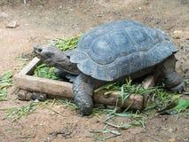 Żółwia łasowanie Zdjęcie Stock