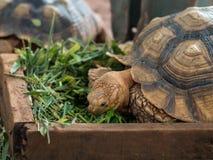Żółwia łasowanie Obrazy Royalty Free