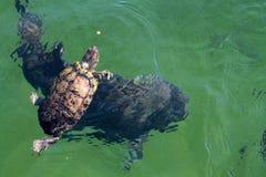 Żółwia łasowanie w wodzie obraz royalty free