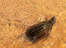 Żółwia dopłynięcie na jasnym nawadnia przy plażą Obrazy Royalty Free