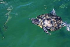 Żółwia dopłynięcie ukazywać się zdjęcie stock