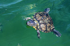 Żółwia dopłynięcie ukazywać się obrazy stock