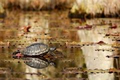 Żółwia obsiadanie na nazwie użytkownika bagno Obrazy Royalty Free