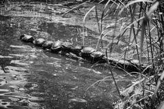 Żółwia przyjęcie Zdjęcia Stock