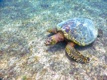 Żółwia ` s pływanie Zdjęcie Stock