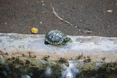 Żółwie i staw Zdjęcie Royalty Free