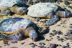 Żółwie na hawajczyk plaży Zdjęcie Royalty Free