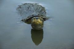 Żółwie od świątyni Obrazy Stock