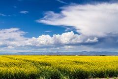 Żółci Canola Rapeseed pola w kwiacie Fotografia Stock
