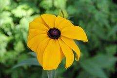 Żółci czarnookiego Susan coneflowers Fotografia Royalty Free