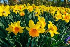Żółci Daffodils Holandia Zdjęcia Royalty Free