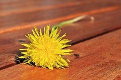 Żółci dandelion kwiaty Zdjęcie Royalty Free