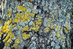 Żółci drzewni liszaje Obrazy Stock