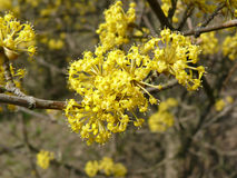 Żółci drzewo kwiaty Obrazy Royalty Free