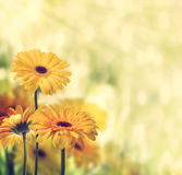 Żółci gerberas Fotografia Royalty Free