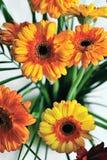 Żółci gerberas Zdjęcie Royalty Free