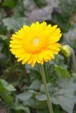 Żółci Gerberas w ogródzie Fotografia Royalty Free