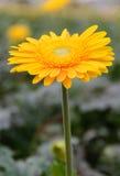 Żółci Gerberas w ogródzie Zdjęcie Stock