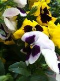 Żółci i biali Pansies 2 Zdjęcia Royalty Free