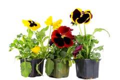Żółci i czerwoni pansies Zdjęcie Stock