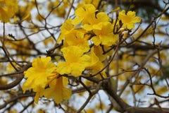 Żółci ind kwiaty Zdjęcia Royalty Free