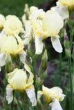 Żółci irysy po deszczu. Obrazy Royalty Free