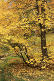 Żółci klony Obrazy Royalty Free