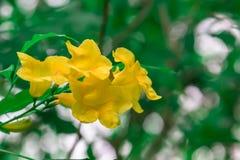 Żółci kwiaty - Akcyjny wizerunek Zdjęcie Royalty Free