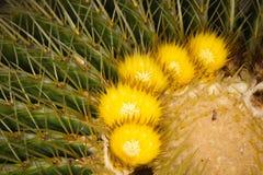 Żółci kwiaty echinocactus kaktusy Zdjęcia Stock