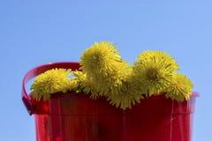 Żółci kwiaty w czerwonym wiadrze przeciw niebieskiemu niebu Fotografia Stock