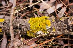 Żółci liszaje na drewnie Zdjęcia Stock