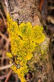 Żółci liszaje na drewnie Fotografia Stock