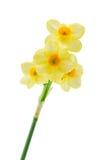 Żółci narcissuses zdjęcie stock