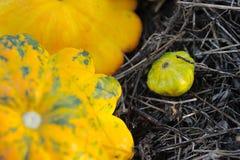 Żółci Pattypan kabaczki Fotografia Royalty Free