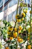 Żółci pomidory Fotografia Stock