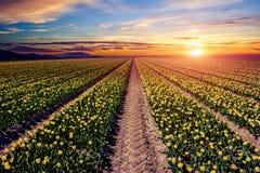 Żółci tulipany przy zmierzchem Obraz Stock
