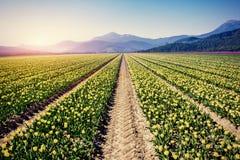 Żółci tulipany przy zmierzchem Fotografia Stock
