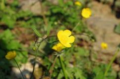 Żółci wiosna kwiaty Obrazy Stock