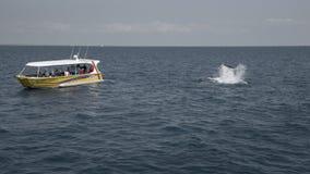 Ó de observação da baleia, em setembro de 2017, BAÍA de HERVEY, QUEENSLAND, AUSTRÁLIA imagem de stock