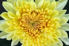 Żółta chryzantema Obrazy Royalty Free