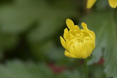 Żółta chryzantema Obraz Royalty Free