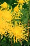 Żółta chryzantema Obraz Stock