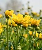 Żółta chryzantema Zdjęcie Stock