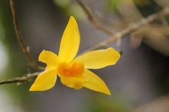 Żółta Dendrobium orchidea Obraz Stock