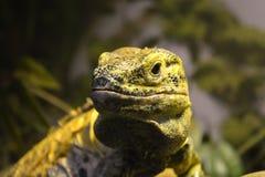 Żółta i Czarna jaszczurka Zdjęcie Royalty Free